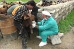 بیماری آبله گوسفند و بز