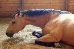 آرتریت ویروسی اسب